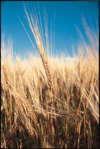 Soft White Wheat; Picture credit: northlandorganic.com